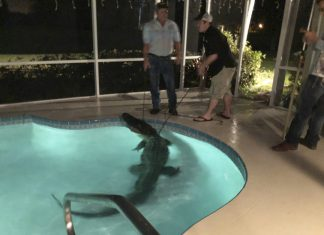 11-Foot alligator takes a dip in backyard pool
