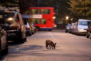 a car with a dog on a city street: foxredbus.jpg