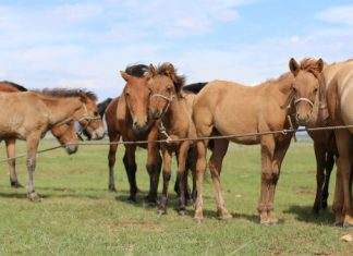 Scientists find early evidence of horse milk consumption