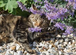 Scientists reveal the evolutionary origins of the plant that sends cats into a frenzy