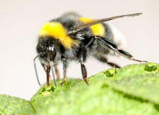 Study: Bumblebees speed up flowering