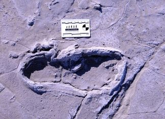 Study: Fossilized footprints suggest ancient humans divided labor