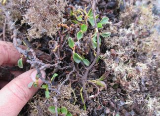 Study: A tiny arctic shrub reveals secrets of plant growth on Svalbard