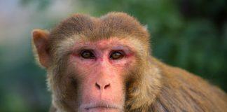 Study: Humans and monkeys show similar thinking patterns