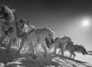 Study: Sled dogs are closely related to 9,500-year-old 'ancient dog'