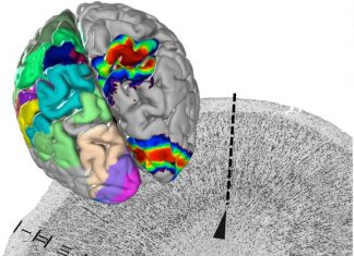 Study: A centerpiece of EBRAINS' human brain atlas is presented in 'Science'