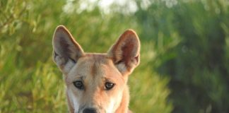 Study: Dingoes have gotten bigger over the last 80 years