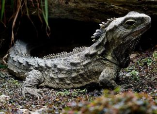 Study: The curious genome of the tuatara, an ancient reptile in peril