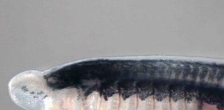 Researchers identify gene family key to unlocking vertebrate evolution