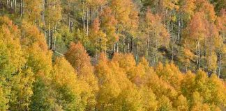 Study: Colorado's famous aspens expected to decline due to climate change
