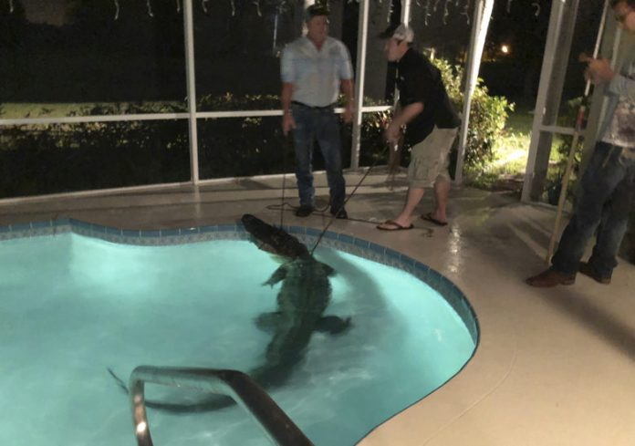 11-Foot alligator takes a dip in backyard pool