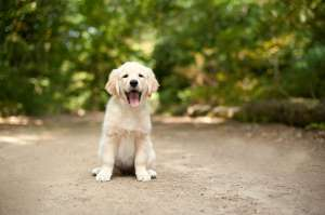 a brown and white dog sitting on the ground: Labrador puppy