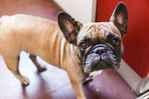 a brown and white dog: French Bulldog