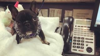 A French bulldog looks adorable as it sits on a person's desk beside a work phone. The frenchie has a big blanket that it's sitting on. It's eyes are huge and very pretty.