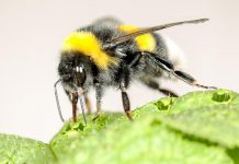Study: Bumblebees speed up flowering