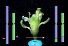 Study: Exchange of arms between chromosomes using molecular scissors