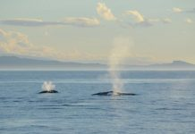 Study: New Zealand blue whale distribution patterns tied to ocean conditions, prey availability