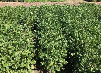 Study: Summer forage capabilities of tepary bean and guar in the southern great plains