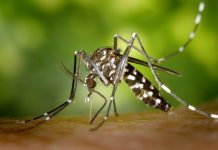 Study: Asian tiger mosquito gains ground in Illinois