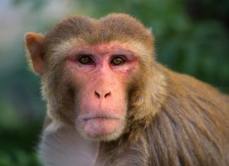 Study: Humans and monkeys show similar thinking patterns