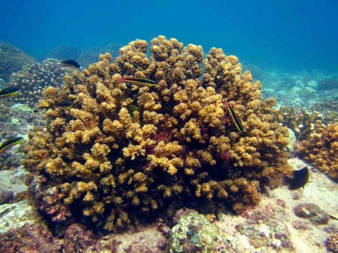 Study: Coral reefs show resilience to rising temperatures