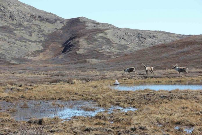 Study: Where are arctic mosquitoes most abundant in Greenland and why?