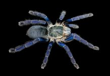 Researchers discover why tarantulas come in vivid blues and greens