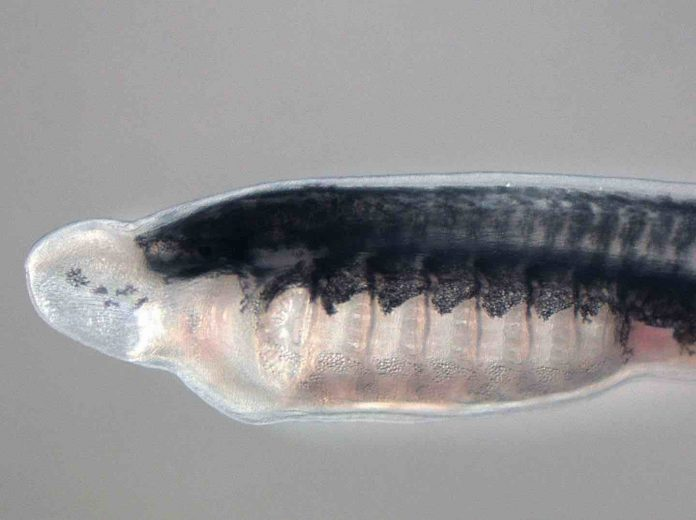 Researchers identify gene family key to unlocking vertebrate evolution
