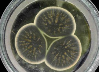 Study: Genome of Alexander Fleming's original penicillin-producing mould sequenced