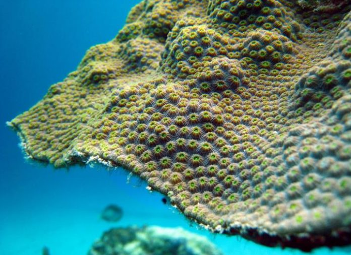 Study: Coral's resilience to warming may depend on iron