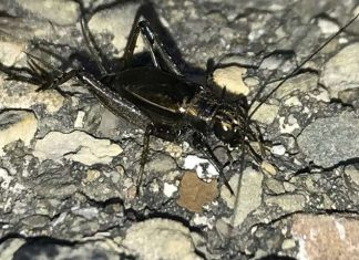 Study: More crickets and katydids 'singing in the suburbs'
