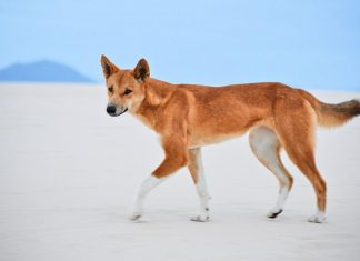Study: DNA tests show most 'wild dogs' in Australia are pure dingoes