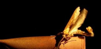 Research: How moths find their flame - genetics of mate attraction discovered